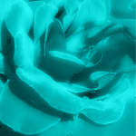 flower colorized turquois